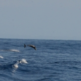 Dolphin Spinning